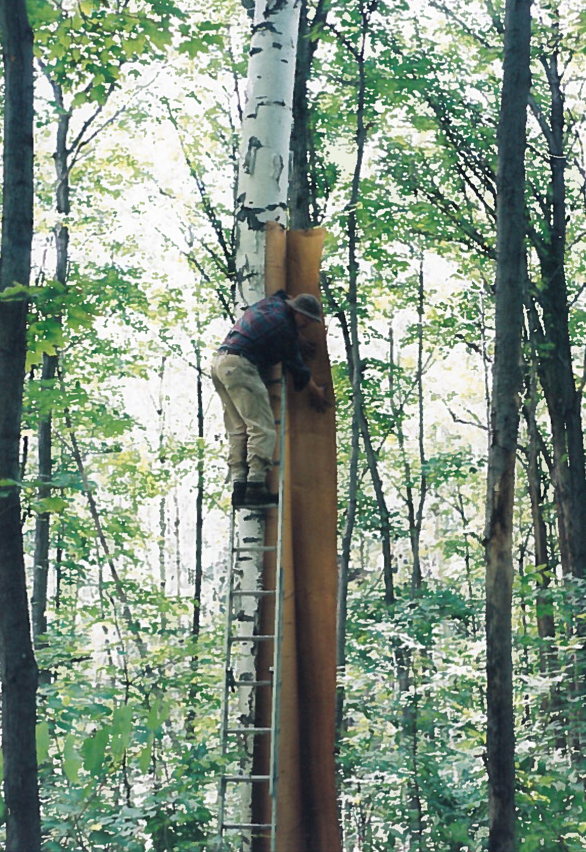 Opening the bark from a ladder (CCM)